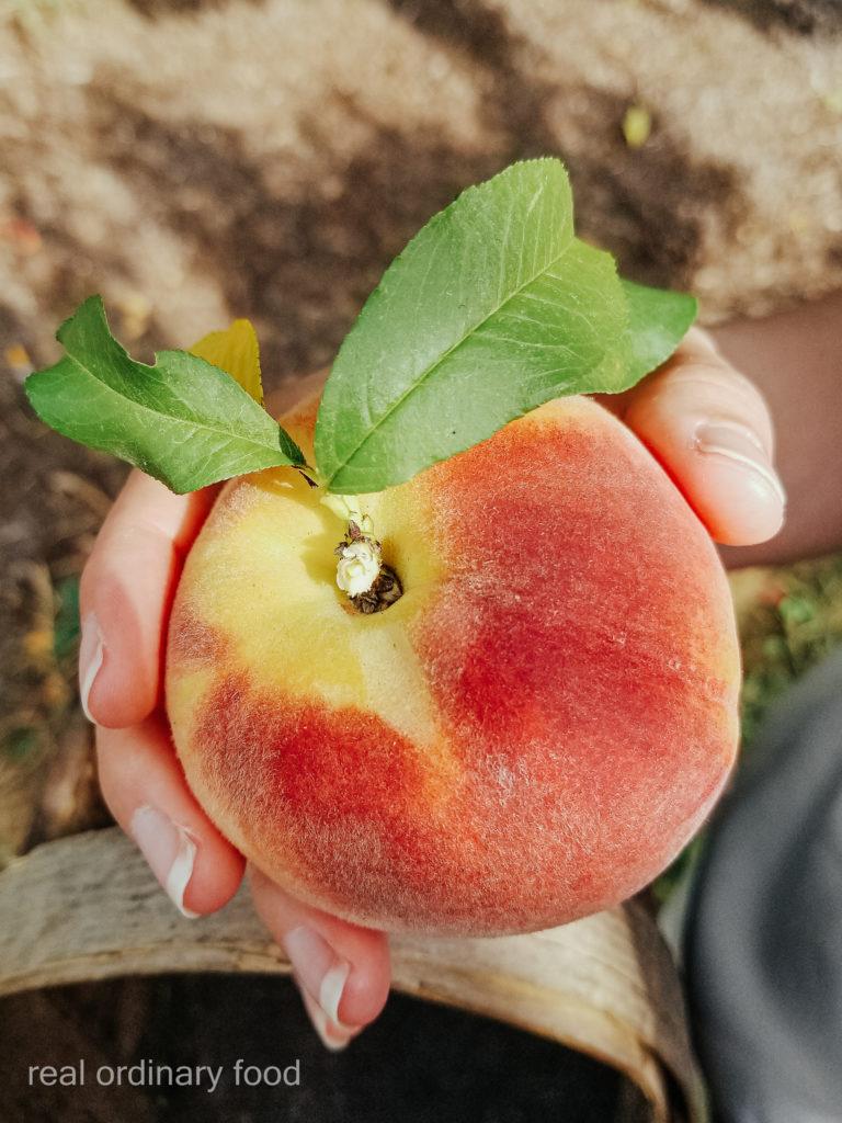hand-picked peach at dutchyn farm in niagara-on-the-lake