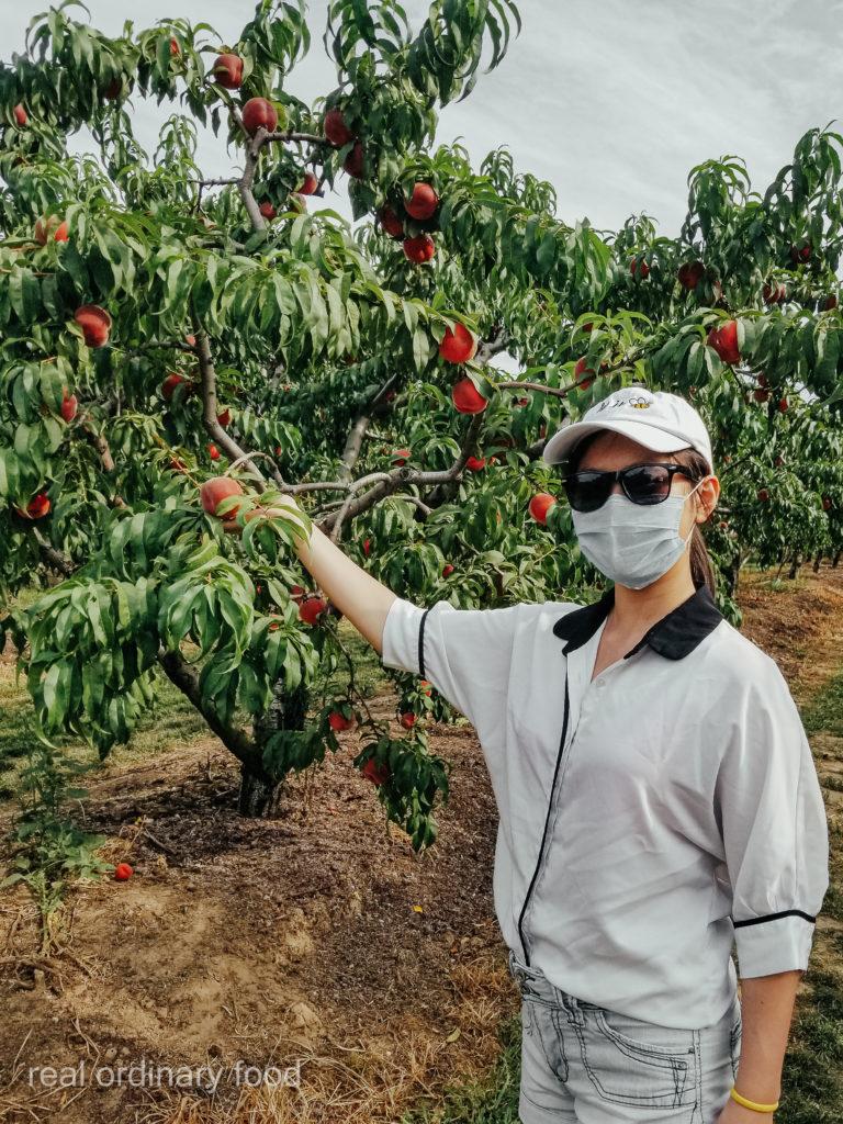 u-pick peaches at dutchyn farm in niagara-on-the-lake